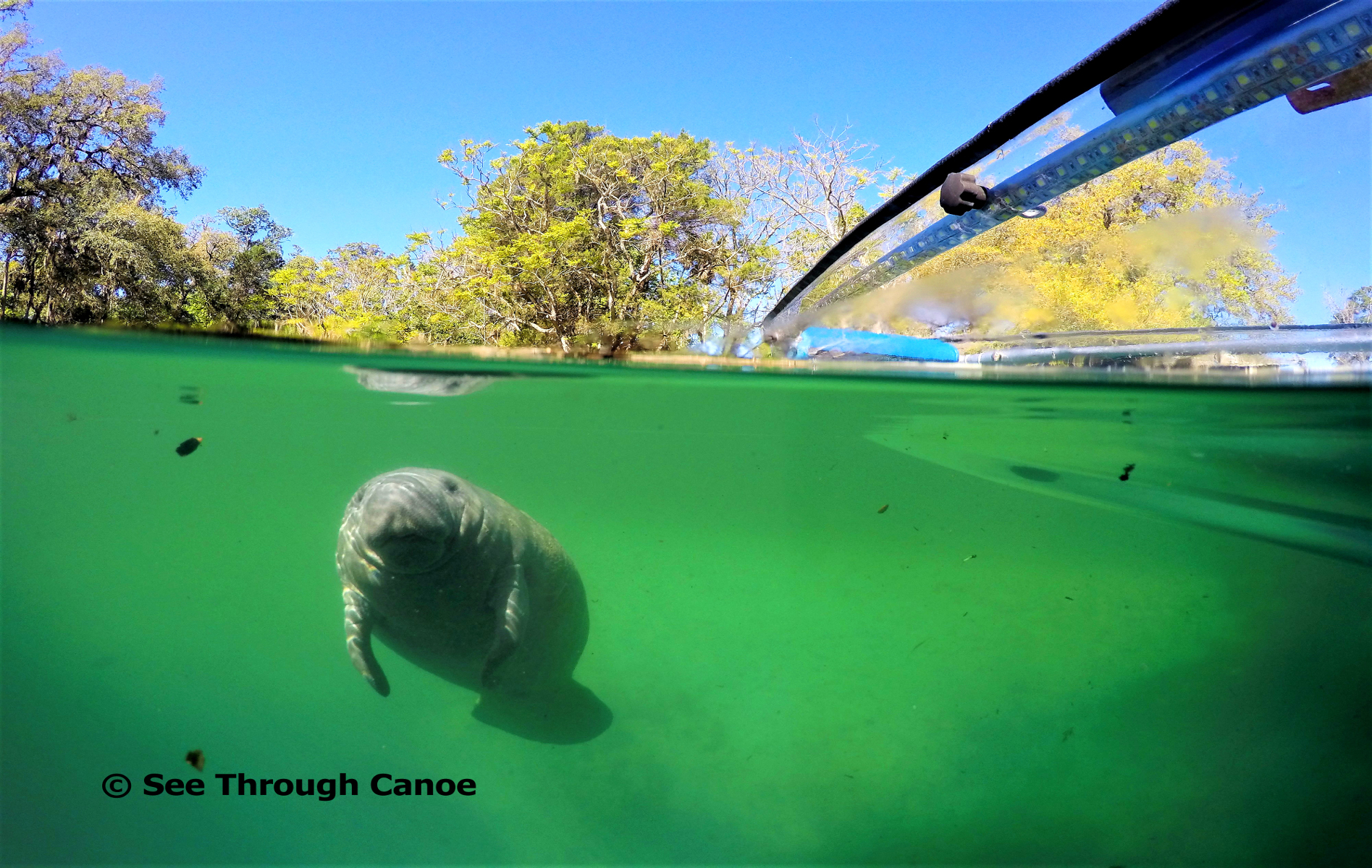 Manatee coming up to the clear kayak