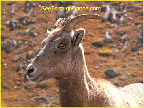 Young Big Horn Sheep Close Up