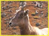 Close Up of a Big Horn Sheep