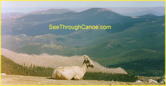 Picture of a big horn sheep looking over the edge of a mountain