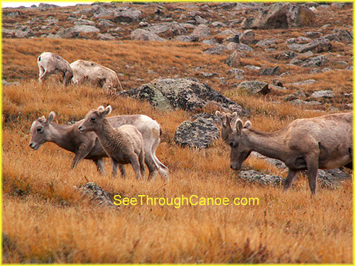 group of big horn sheep with babies