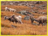 Big Horn Sheep on Mt. Evans