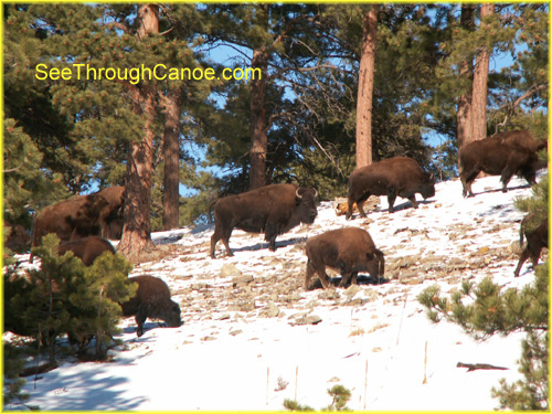 picture of a herd of buffalo on Lookout Mountain