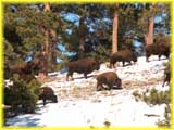 Buffalo Herd on Lookout Mountain