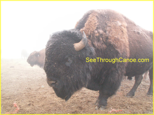 picture of a large adult buffalo in the fog