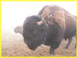 Buffalo in Colorado