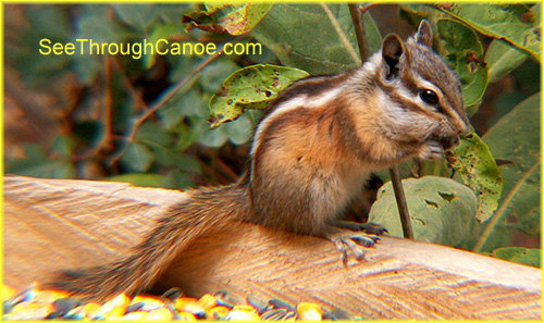 picture of a chipmunk eating cracked corn