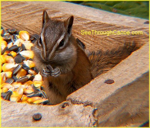 close up picture of a chipmunk at a feeder