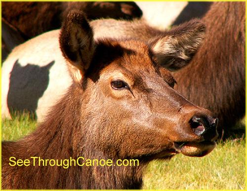 close up picture of a female elk