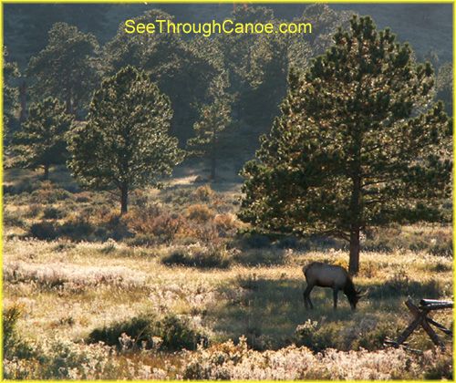 picture of an elk grazing