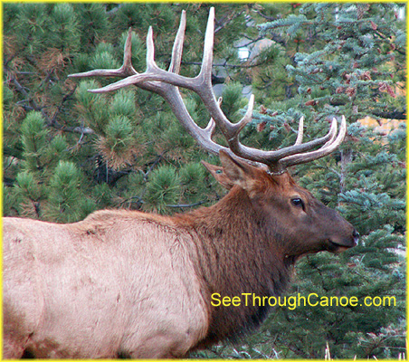 picture of a large male elk