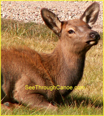 picture of a female elk laying in the grass