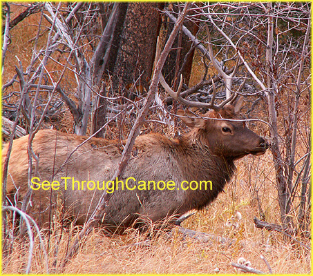 picture of a large bull elk in the woods