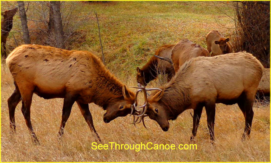 picture of two male elk