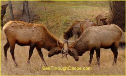 2 Elk Fighting