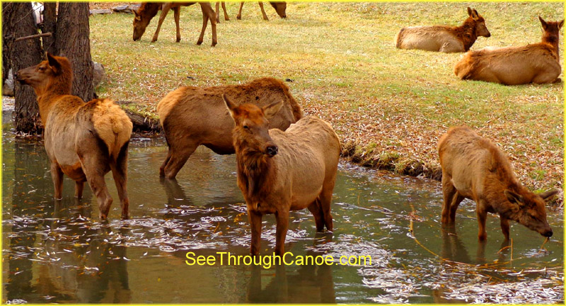 group of elk playing in the water