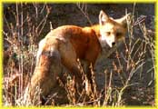 Fox Showing Tail
