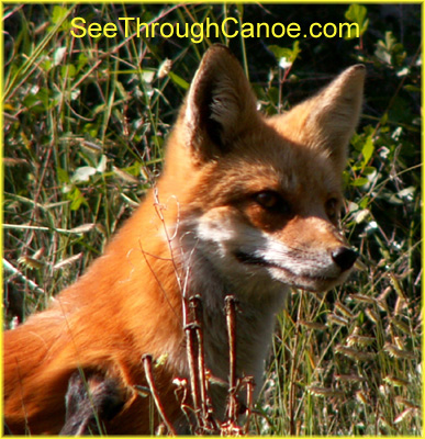 close up picture of a red fox