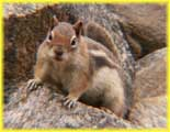 Ground Squirrel at Clear Lake