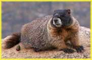 Marmot on Mount Evans
