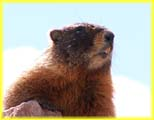 Close Up of a Marmot