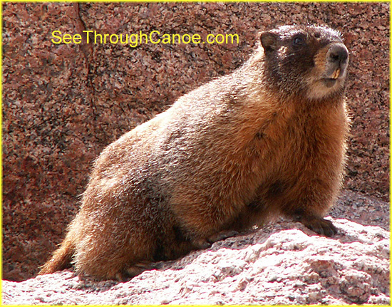 close up face picture of a yellow bellied marmot