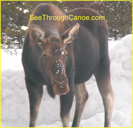 picture of a female moose in Rocky Mountain National Park