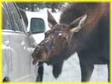 Moose Licking Salt off a Car