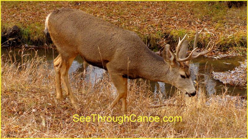 close up picture of a mule deer drinking from a creek