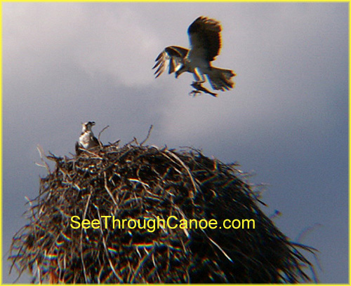 picture of an Osprey with a fish