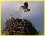 Osprey Carrying a Fish to the Nest