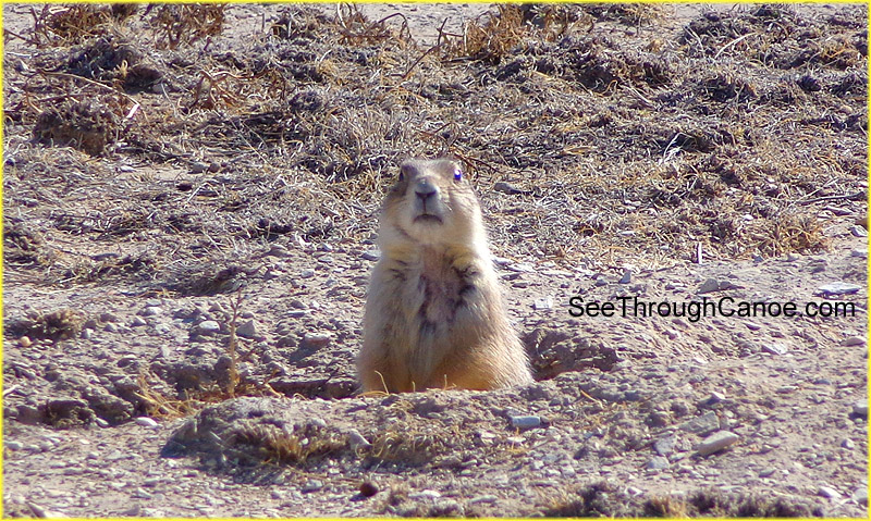 picture of a prarie dog standing up