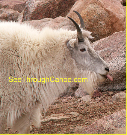 close up picture of a Rocky Mountain Goat
