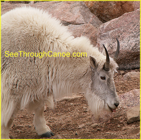 picture of a rocky mountain goat