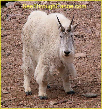 picture of a rocky mountain goat in Colorado