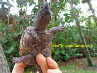 Photo showing the plastron of an alligator snapping turtle