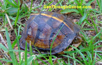 Box turtle found in Fort Walton Beach, Florida