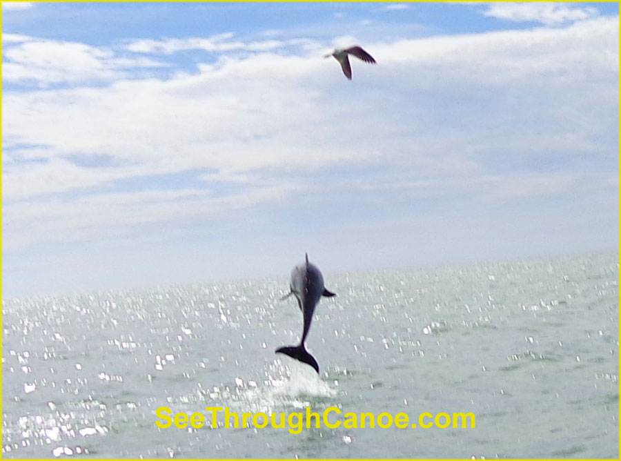 Dolphin jumping out of the water near Johns Pass