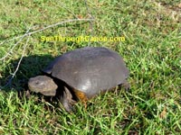 Photo of a box turtle found in Boca Ciega Park