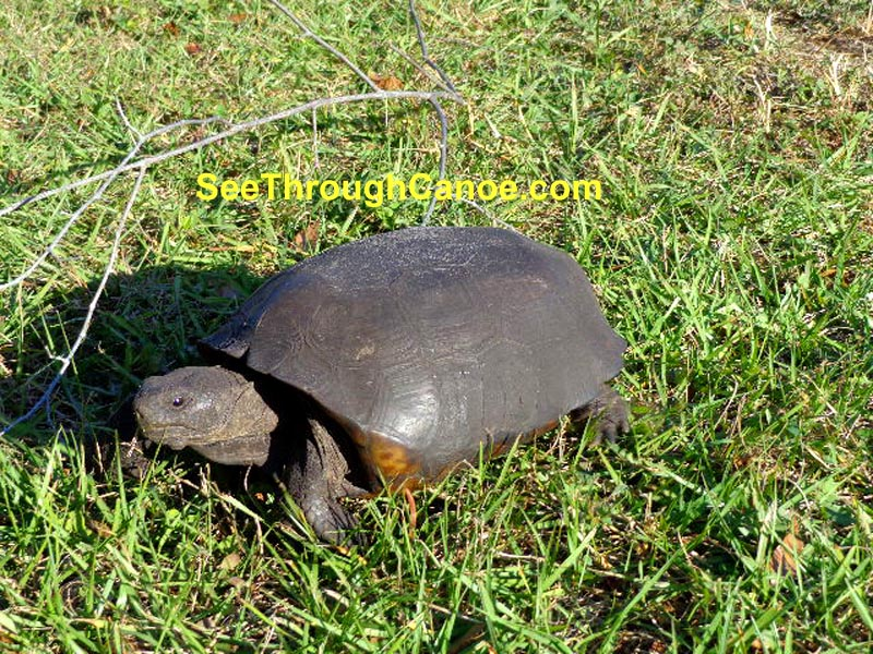 Picture of a gopher turtle at Boca Ciega Park in Seminole, FL