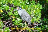 Night Heron in Florida