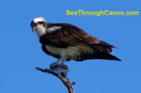 Photo of an Osprey holding a fish