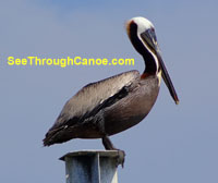 Pic of a Pelican near Brooks Bridge in Fort Walton Beach