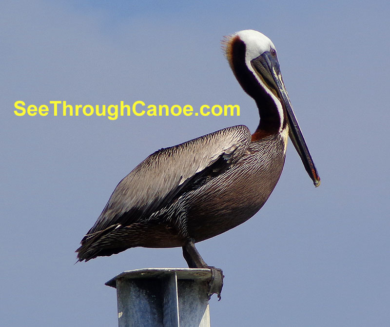 Picture of a pelican sitting on a piling near Brooks Bridge