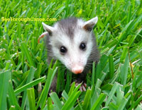 Picture of a baby possum