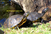 Red Eared Slider Turtle Picture