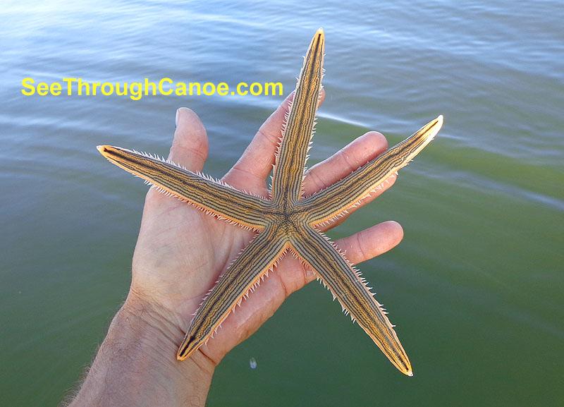 Photo of a starfish found in the Intercoastal Waterway