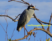 Yellow Crowned Night Heron in Long Bayou