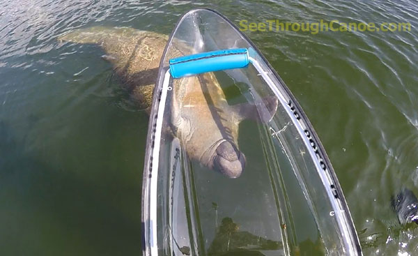 Manatee upside down holding the clear canoe.