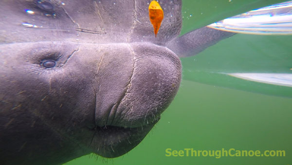 Manatee looking at the See Through Canoe